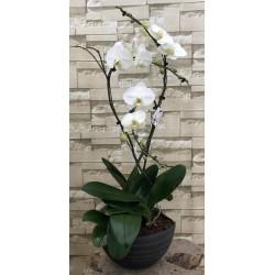 Orchidée 3 tiges avec pot