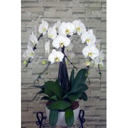 Orchidée 5 tiges avec pot